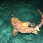 Nurse Shark caught while fishing on Ambergris Caye, Belize